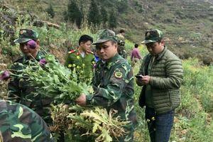 Biên phòng Hà Giang triệt phá hơn 1.012 cây thuốc phiện
