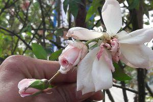 Lễ hội hoa hồng vừa khai mạc ngày 8/3 đã bị chê tơi tả
