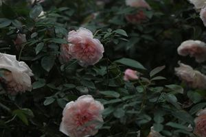 Lễ hội hoa hồng Bulgaria 2018: Không tái diễn cảnh chen lấn, xô đẩy