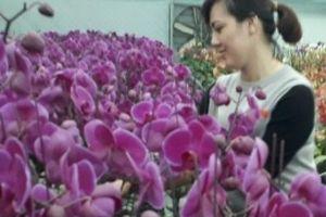 'Phát sốt, phát rét' với vườn lan hồ điệp tuyệt đẹp ở Mộc Châu
