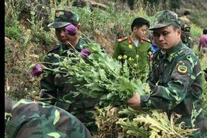 Phát hiện 2 hộ dân tái trồng hơn 1 nghìn cây thuốc phiện