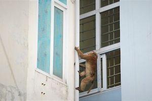 Khu dân cư ở Hà Nội bất ngờ bị khỉ quấy nhiễu