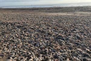 'Quái vật phương Đông' khiến hàng chục nghìn sao biển đầu hàng