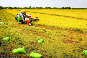 Tăng cường liên kết sản xuất và tiêu thụ lúa gạo ĐBSCL