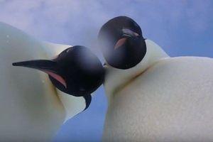 CLIP Chim cánh cụt nhặt được máy ảnh, chụp hình 'tự sướng'