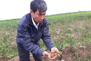 Nghi vấn 4 sào ớt bị kẻ gian phun thuốc trừ cỏ phá hoại?