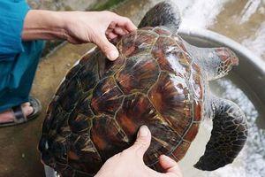 Ngư dân Nghệ An bắt được rùa biển quý hiếm nặng 5kg