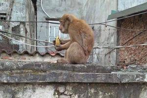 Bắn thuốc mê, bắt hai con khỉ hoang quậy phá khu dân cư ở Hà Nội