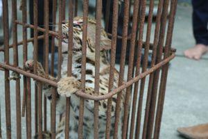 Đặt bẫy thú ăn trộm gà, bắt được mèo rừng hoang dã