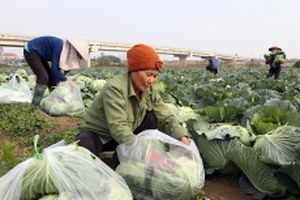 Tạo động lực mới cho sản xuất nông nghiệp vụ đông