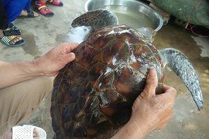Nghệ An: Rùa biển quý hiếm đã được thả về tự nhiên