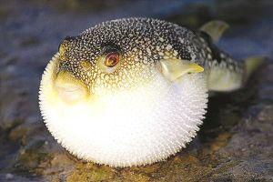 Hiểm họa khôn lường khi chế biến món ăn từ cá nóc