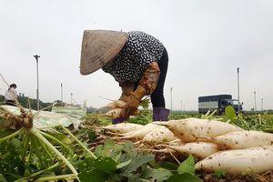 Rớt giá xuống còn 500 đồng/kg, củ cải bỗng hóa thành rác tại Hà Nội