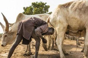 Ghê rợn bộ tộc dùng nước tiểu bò để nhuộm tóc, phân bò để làm đẹp