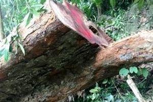 Hơn 142 m3 gỗ quý bị chặt hạ trái phép tại rừng Phong Quang
