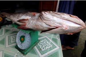 Ngư dân Quảng Nam bắt được cá dài 1,1m, nghi sủ vàng quý hiếm