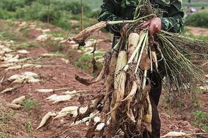 Hà Nội: Tìm cách 'giải cứu' 3.000 tấn củ cải