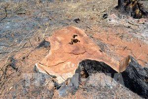 Vụ phá rừng tại Đắk Nông: Khởi tố một đối tượng về tội 'đưa hối lộ'