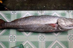 Ngư dân Quảng Nam câu được cá lạ nghi là cá sủ vàng quý hiếm