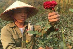 Làm giàu ở nông thôn: Tỷ phú hoa hồng đất Chiềng An