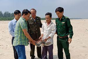 Rùa biển quý hiếm đi lạc, mắc lưới ngư dân Huế