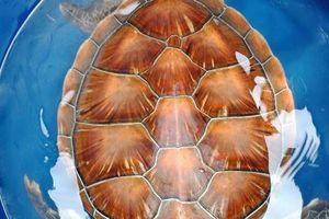 Huế: Ngư dân giải cứu con rùa quý hiếm bị mắc vào nò sáo