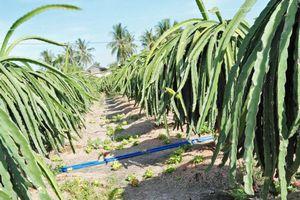 Long An: Cả trăm cây thanh long bị chặt ngang gốc