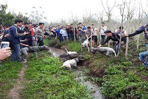 Thú vui cho chó săn và lợn rừng 'tử chiến': Hậu quả khó lường
