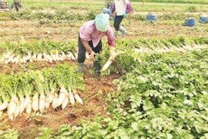 Hỗ trợ nông dân tiêu thụ củ cải