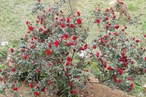 Vụ mất trộm cây hoa hồng giá 30 triệu, thông tin đang rối?