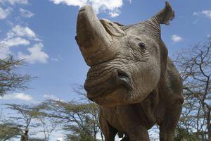 Con tê giác trắng phương Bắc đực cuối cùng được trợ tử