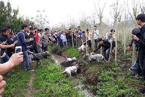 Chó săn và lợn rừng 'tử chiến': Hành động đầy phản cảm, nguy hiểm