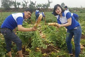 Doanh nghiệp xuất khẩu lao động 'giải cứu' củ cải cho nông dân