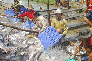 Thuế tăng sốc gần 10 lần, cá tra Việt hết đường sang Mỹ