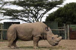 Cá thể tê giác trắng phương bắc giống đực duy nhất trên thế giới chết