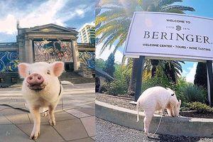 Chú lợn con may mắn được chu du khắp Mỹ và Canada