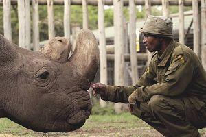 Tê giác trắng châu Phi đực cuối cùng đã chết