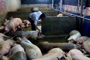 Nghịch lý: Dùng thuốc để.. an thần cho lợn, bất an cho người