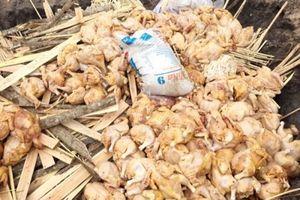 Gần 500 kg thịt gà đã bốc mùi hôi thối đang trên đường tiêu thụ