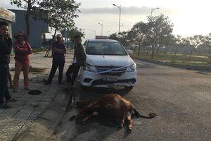 Bò đang ngủ giật mình tông vào xe taxi chết tại chỗ