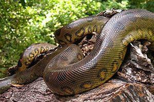 Chuyện dựng tóc gáy về rắn khổng lồ