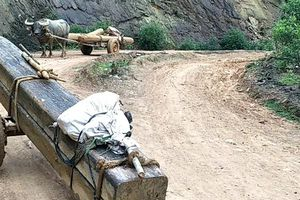 Trâu ngang nhiên kéo gỗ lậu trên đường, trưởng BQL rừng bị đình chỉ công tác
