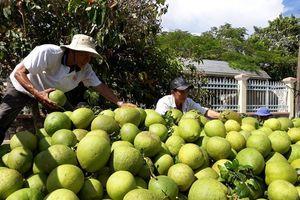 Ngã Bảy (Hậu Giang): Sẽ chuyển đổi 26 ha đất trồng lúa sang trồng bưởi Năm Roi