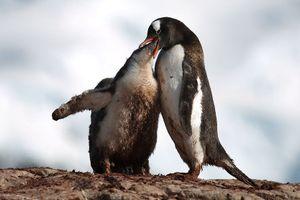Hình ảnh lũ chim cánh cụt đáng yêu 'thống trị' châu Nam cực
