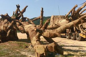 Cây 'quái thú' bị giữ ở Huế là cây gì?