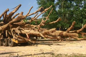 Mục sở thị 3 cây 'quái thú' bị bắt giữ trên QL1A