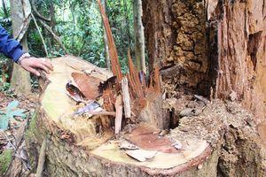 Rừng lim trăm tuổi ở Quảng Nam bị tàn sát