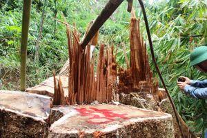 Tan hoang rừng lim cổ thụ hàng trăm năm tuổi
