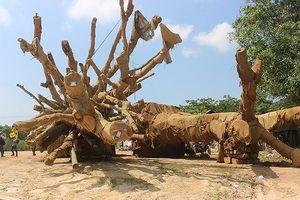 Kiểm lâm xác minh nguồn gốc 3 cây 'khủng' tại Thừa Thiên - Huế