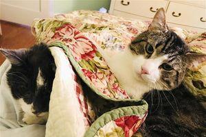 Ca phẫu thuật thận hơn 430 triệu đồng cho mèo cưng 17 tuổi